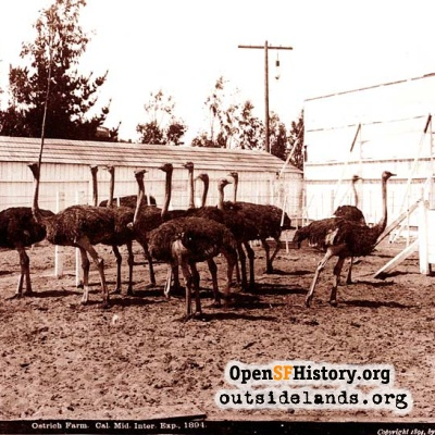 Ostriches at 1894 Midwinter Fair